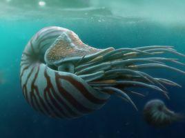 Nautilus belauensis - The Chambered Nautilus
