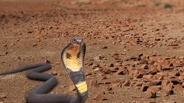 Indian King Cobra Snake