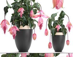 Collection Exotic plants Medinilla magnifica 3D