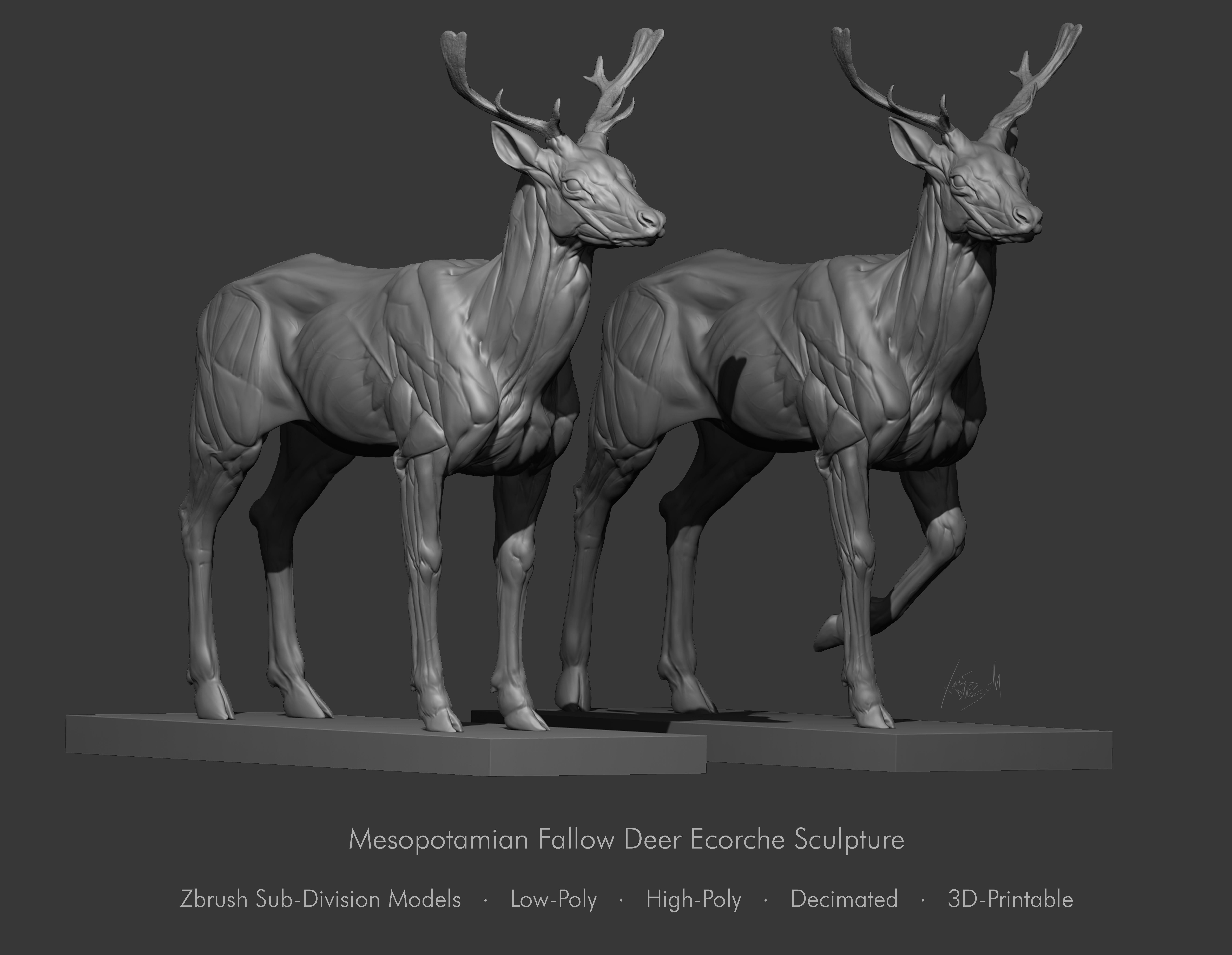 Fallow Deer  Anatomy Sculpture