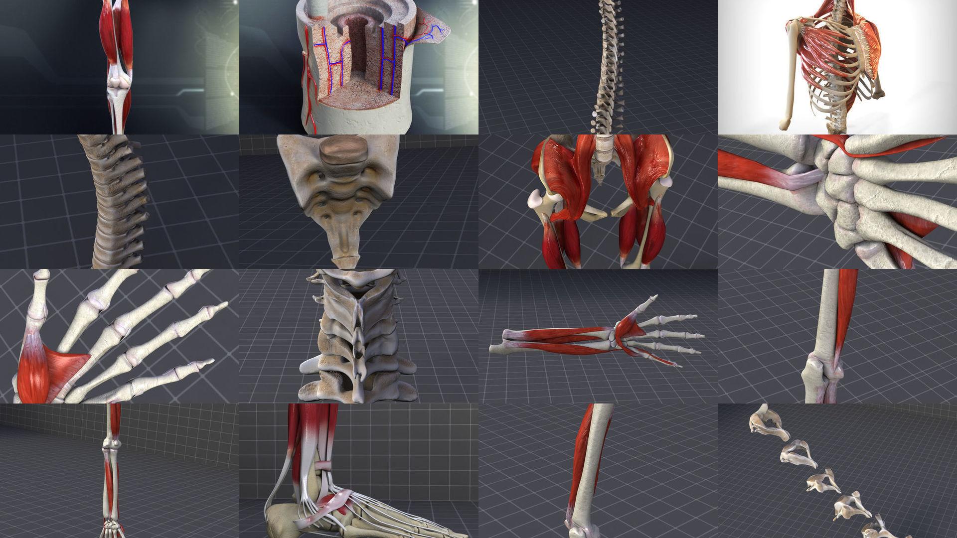 Skeletal System with Bone Anatomy