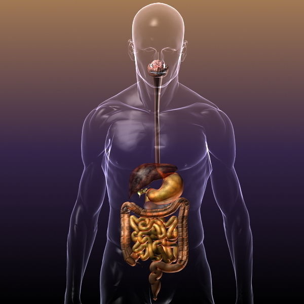 Stupendous 3D Model Digestive System In A Human Body Cgtrader Wiring Cloud Hisonuggs Outletorg