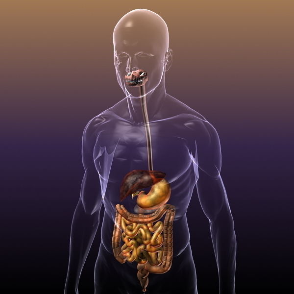Digestive System in a Human Body