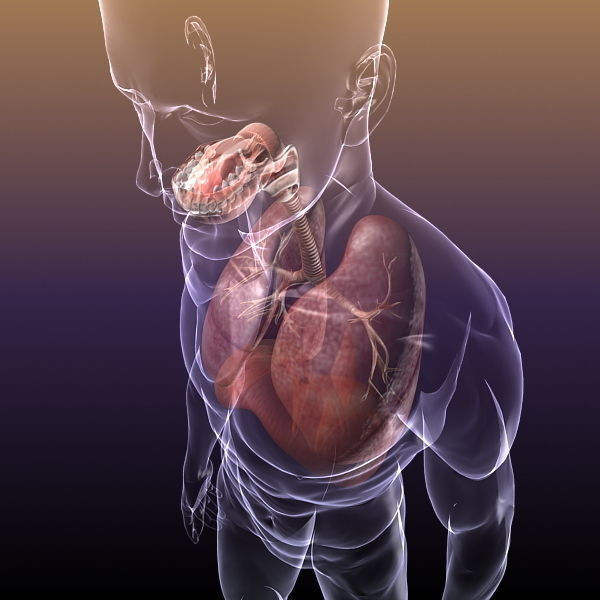 Respiratory System Lungs In A Human Body 3d Model Max Obj Mtl 3ds