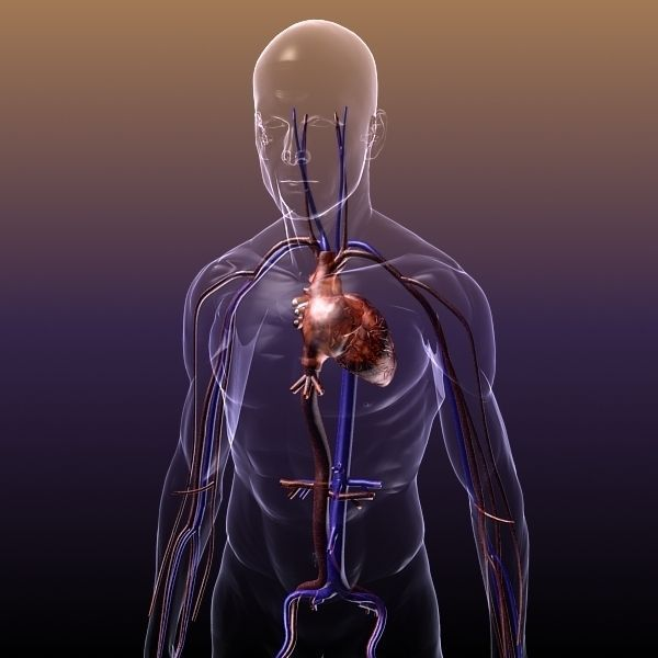 Circulatory System Anatomy In A Human Body 3d Model Max Obj Mtl 3ds
