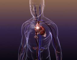 circulatory system anatomy in a human body 3d
