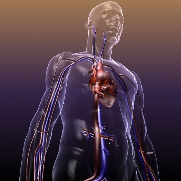 Circulatory System Anatomy In A Human Body 3d Model Max Obj 3ds Fbx