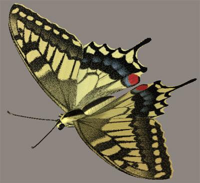 Common yellow swallowtail Kiageha3D model