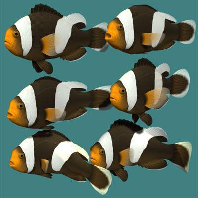 Saddleback clownfish3D model