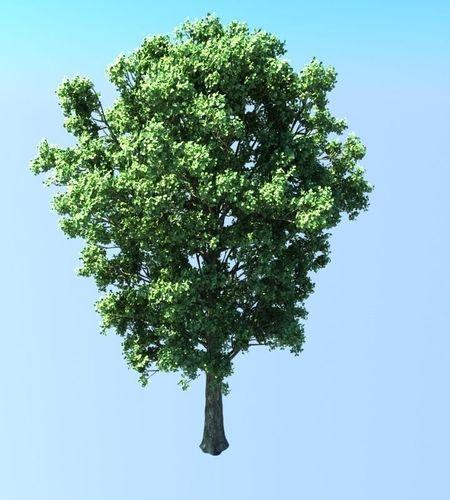 Populus Tree3D model