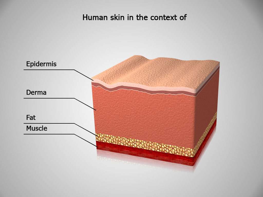 the anatomy of skin The skin is the largest organ of the human body, weighing approximately 16% of our bodyweight skin consists of multiple layers, epidermis, dermis and hypode.
