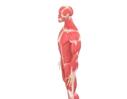 human male rigged muscular and skeletal system  3d model max