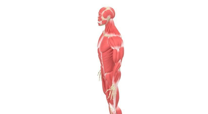 Human Male Rigged Muscular and Skeletal Sy...3D model