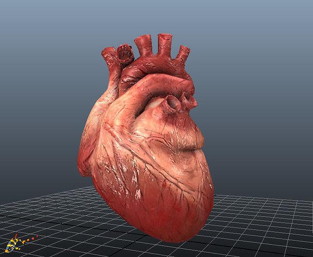 animated human hearts 3d model fbx ma mb 1