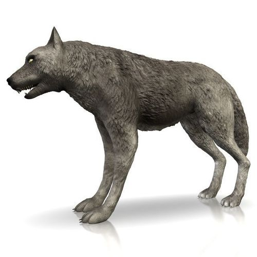 Detailed grey wolf3D model