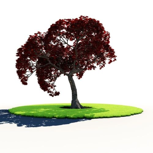 Japanese Maple C3D model