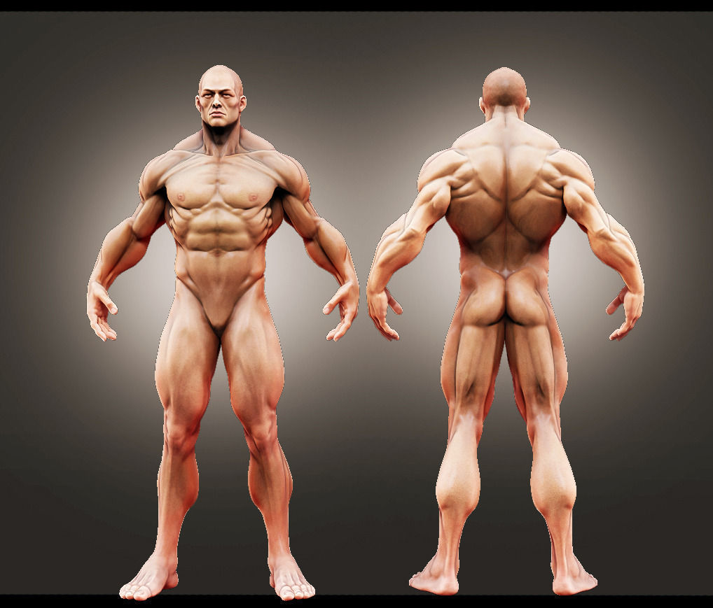 3d Male Anatomy Study Cgtrader
