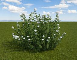 White Snowberry 3D model