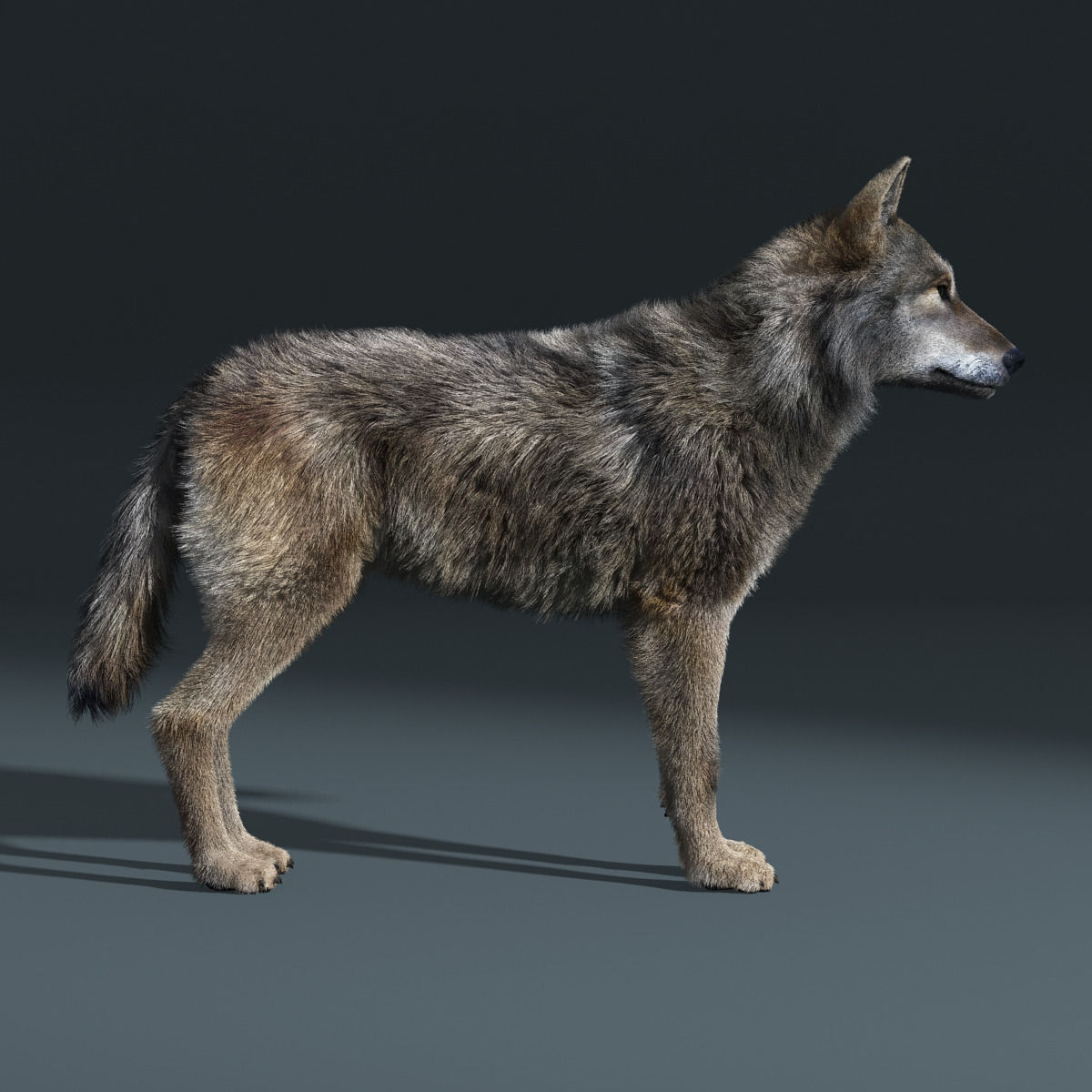 Gray Wolf Fur Rigged 3d Model Animated Rigged Max Obj