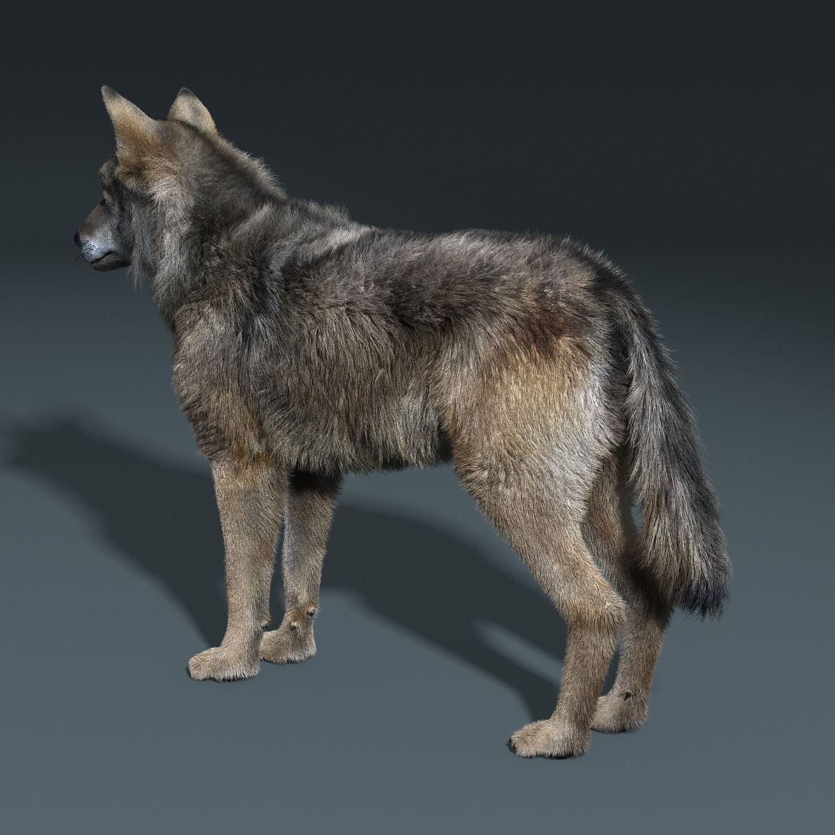 Gray Wolf FUR RIGGED 3D Model Animated Rigged .max .obj
