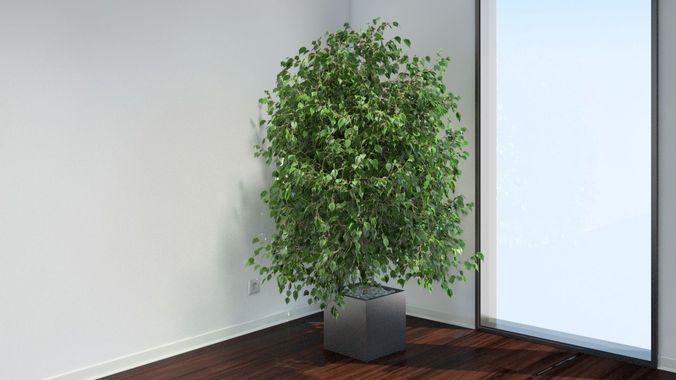 VP Ficus Benjamina3D model