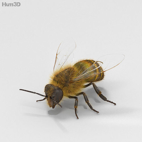 honey bee high detailed 3d model max obj 3ds fbx c4d lwo lw lws 1