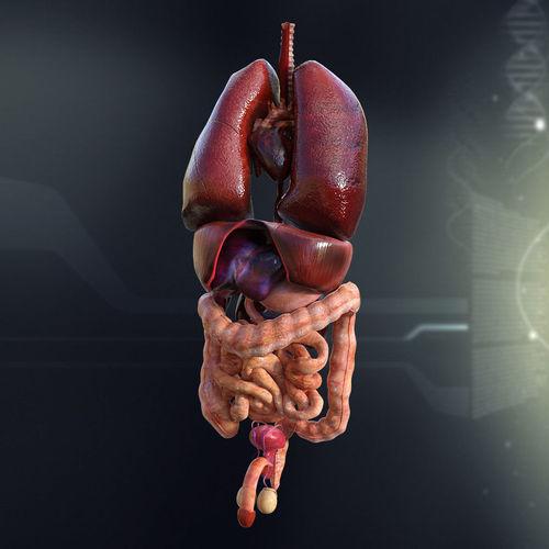 Human Male Internal Organs 3D Model MAX OBJ 3DS FBX LWO LW