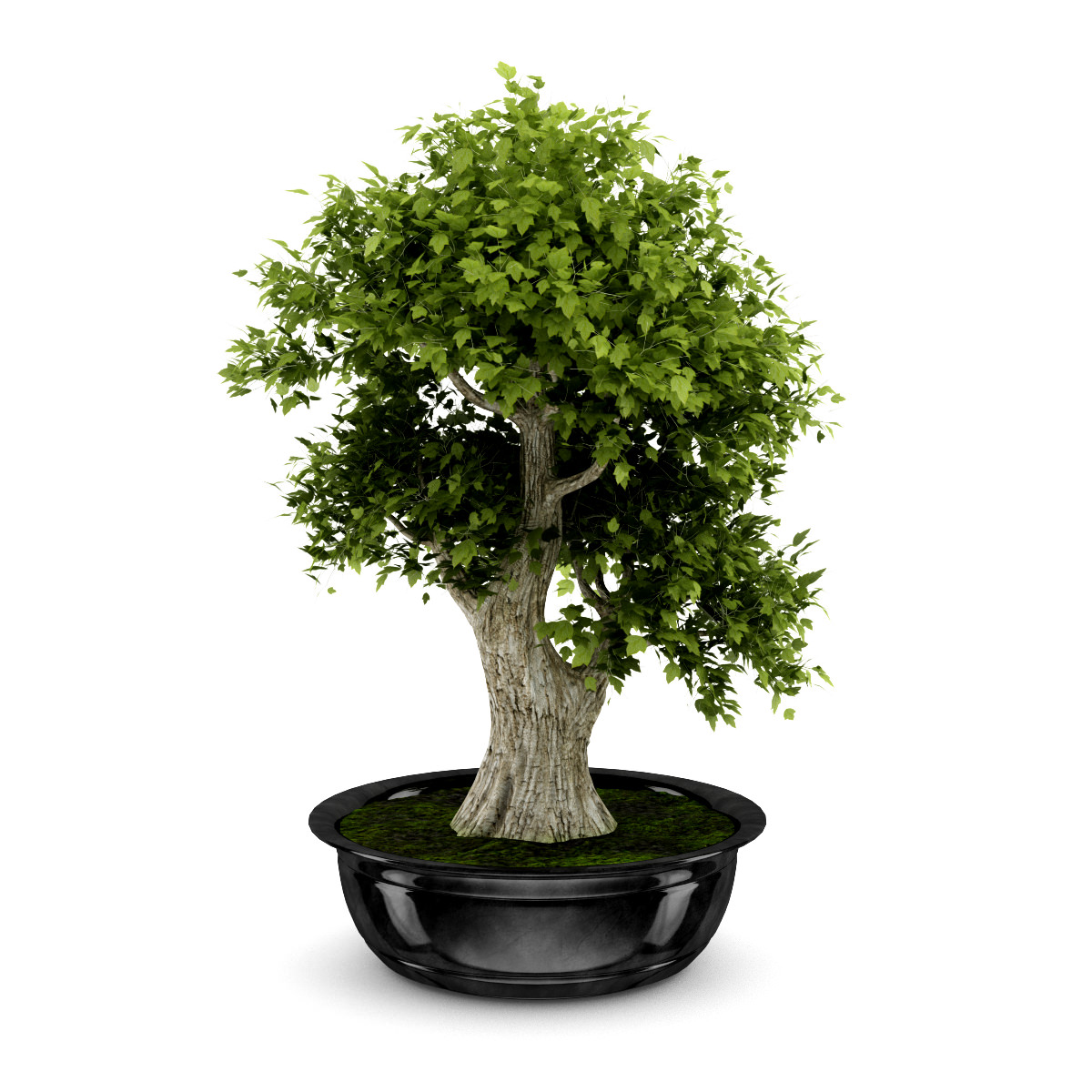 tree and bonsai Japanese bonsai is all about taking care of the tree, pruning it and cultivating it to grow strong, albeit small other variations of bonsai include creating scenes from nature, but in japan – the home of bonsai trees – they remain focused on growing those trees.
