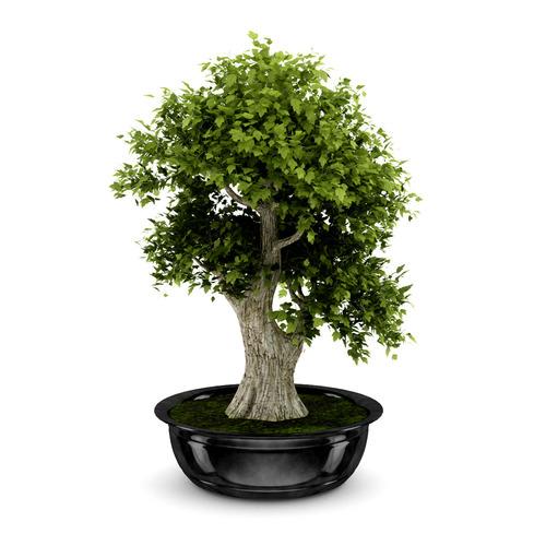 Bonsai Tree3D model