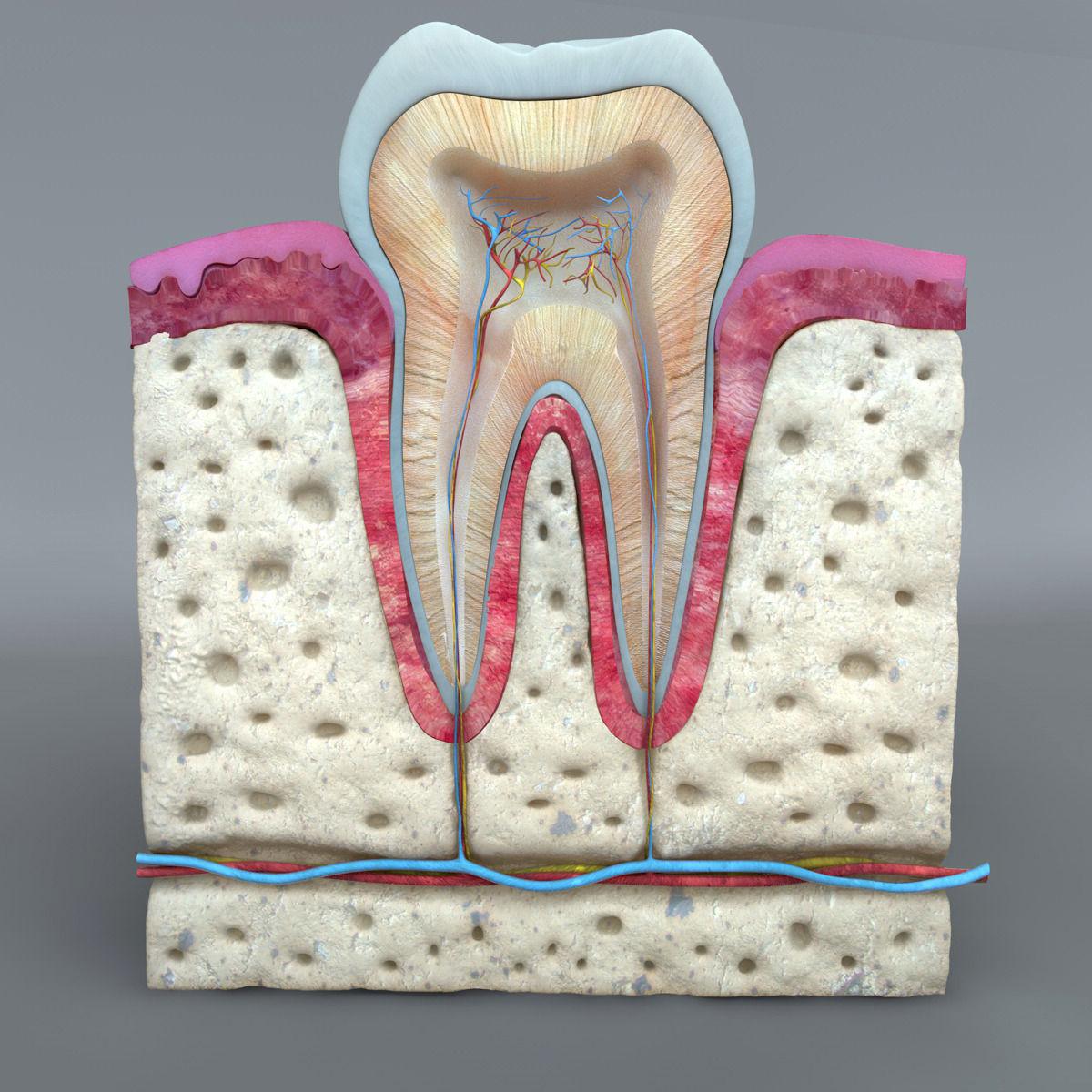 3D Teeth diagram | CGTrader