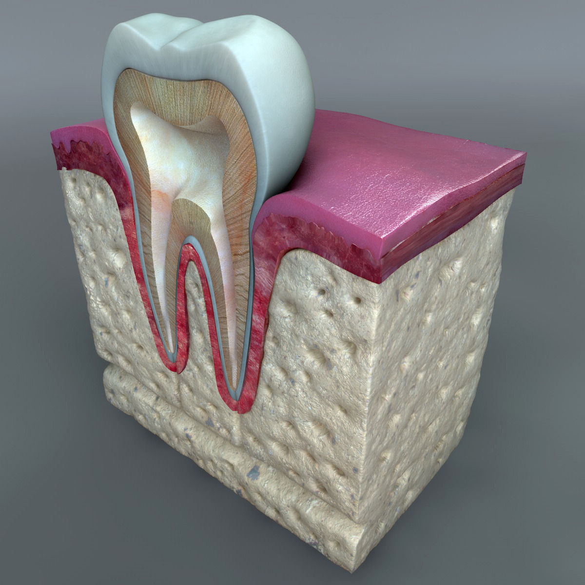 Tooth diagram 3d electrical work wiring diagram 3d teeth diagram cgtrader rh cgtrader com tooth diagram worksheet tooth diagram labeling ccuart Images