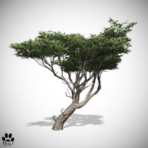 Acacia Tree3D model