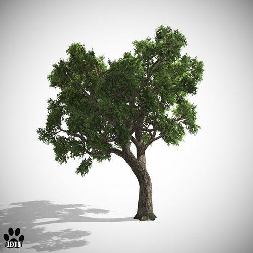 Amur Cork Tree3D model