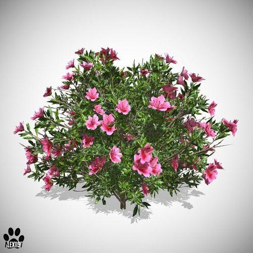 Azalea Flowers Pink3D model
