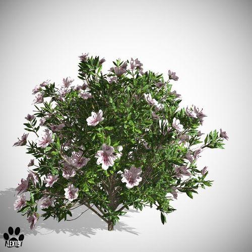 Azalea Flowers White3D model