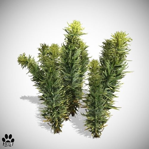 Horseweed shrub3D model