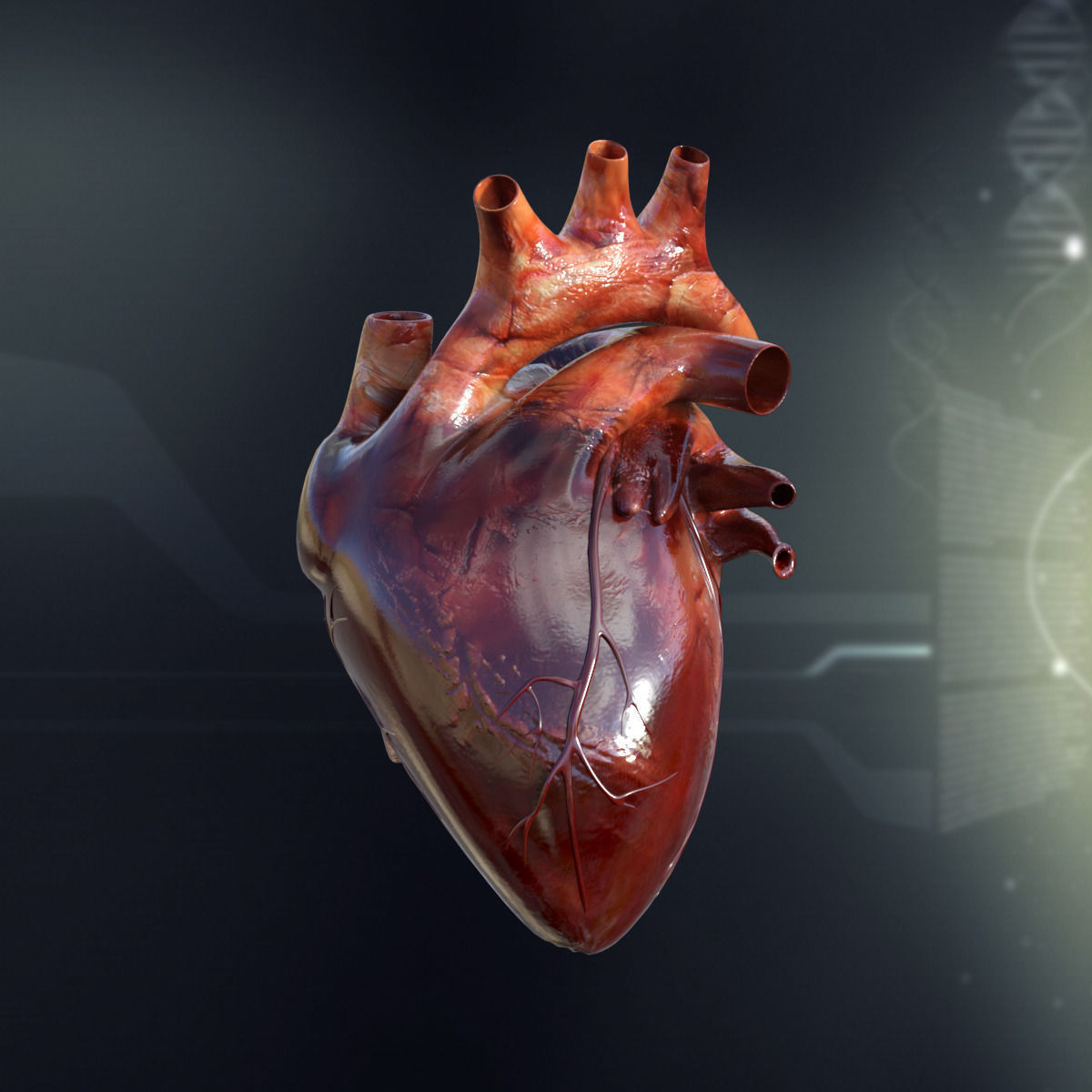 Heart anatomy 3d