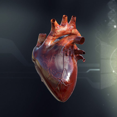 3d Human Heart Anatomy Cgtrader