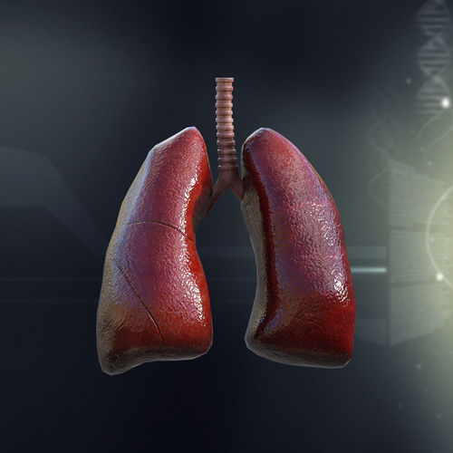 Human Lungs Anatomy3D model