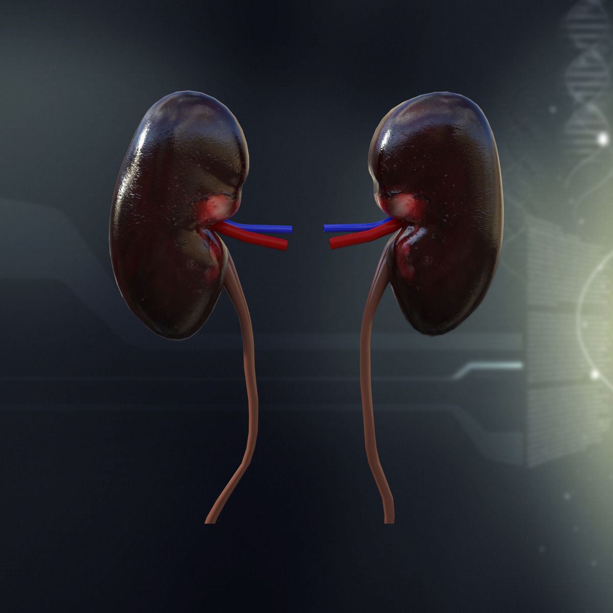 Human Kidney Anatomy 3D Model MAX OBJ 3DS FBX C4D LWO LW ...