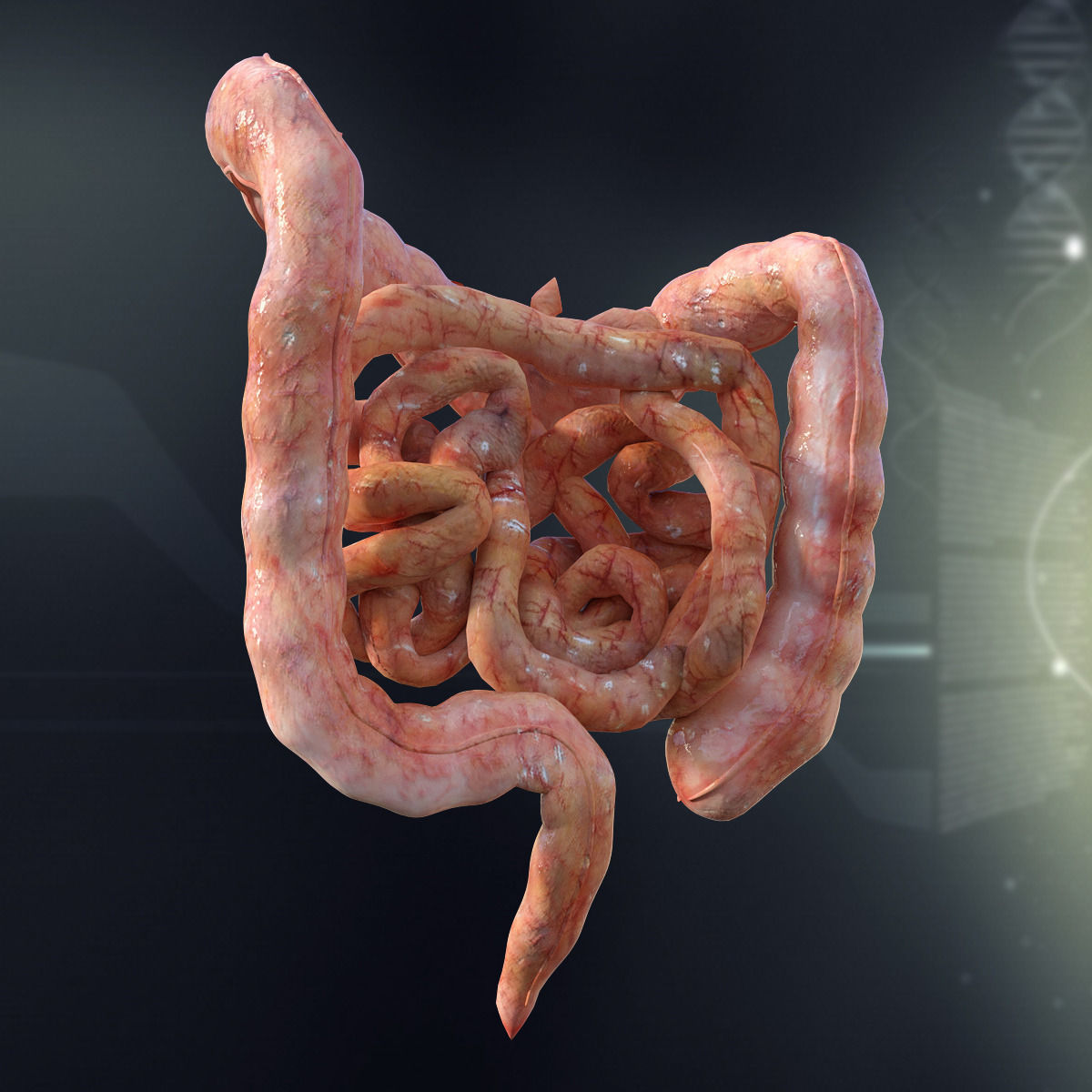 3d Human Small And Large Intestines Anatomy Cgtrader