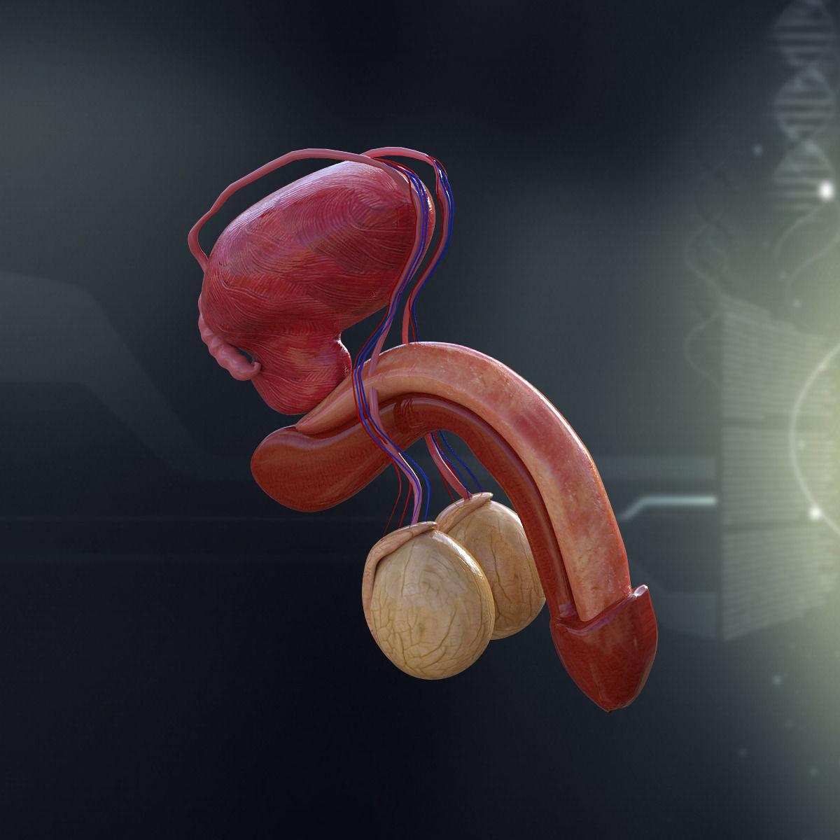 Human male anatomy organs