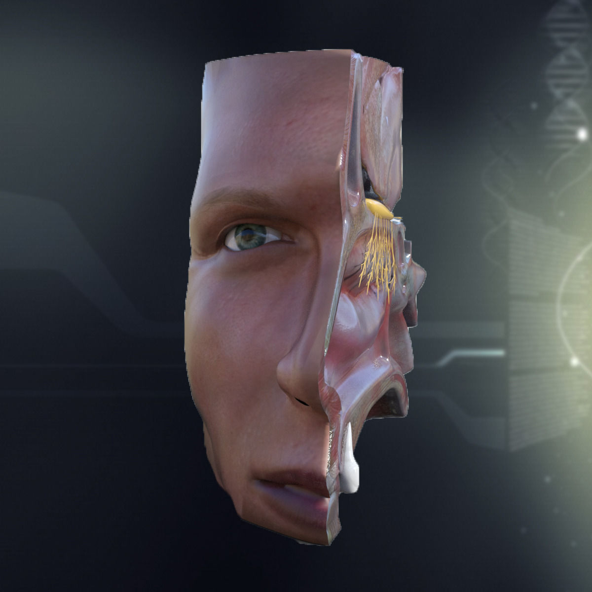 Human Nose Anatomy 3d Model Lip Cgtrader