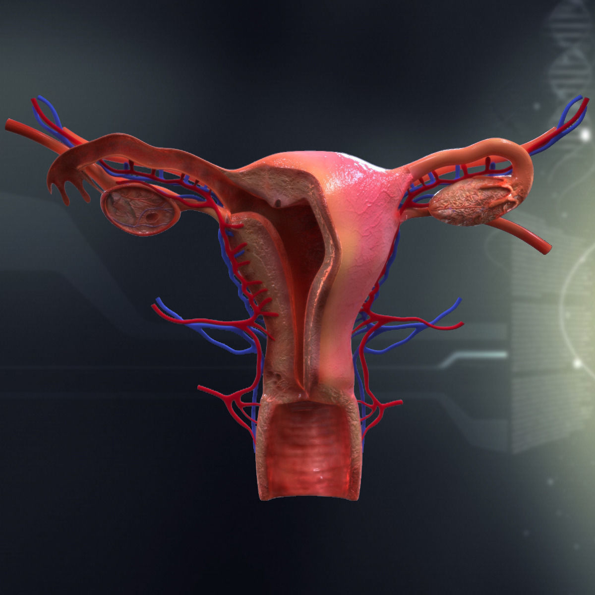 Human Female Organ Anatomy 3d Model Cgtrader