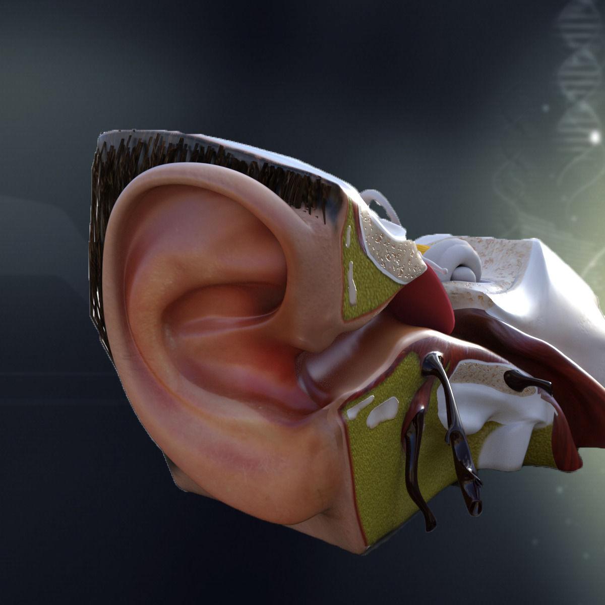 Human Ear Anatomy 3D model | CGTrader