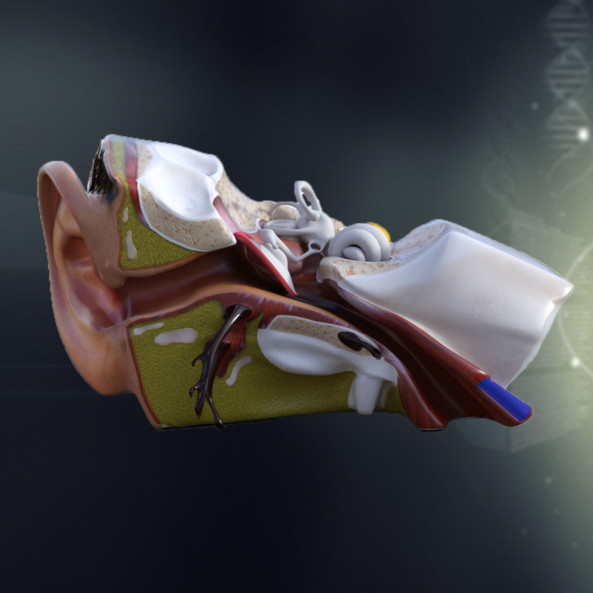 Human Ear Anatomy 3d Model Cgtrader
