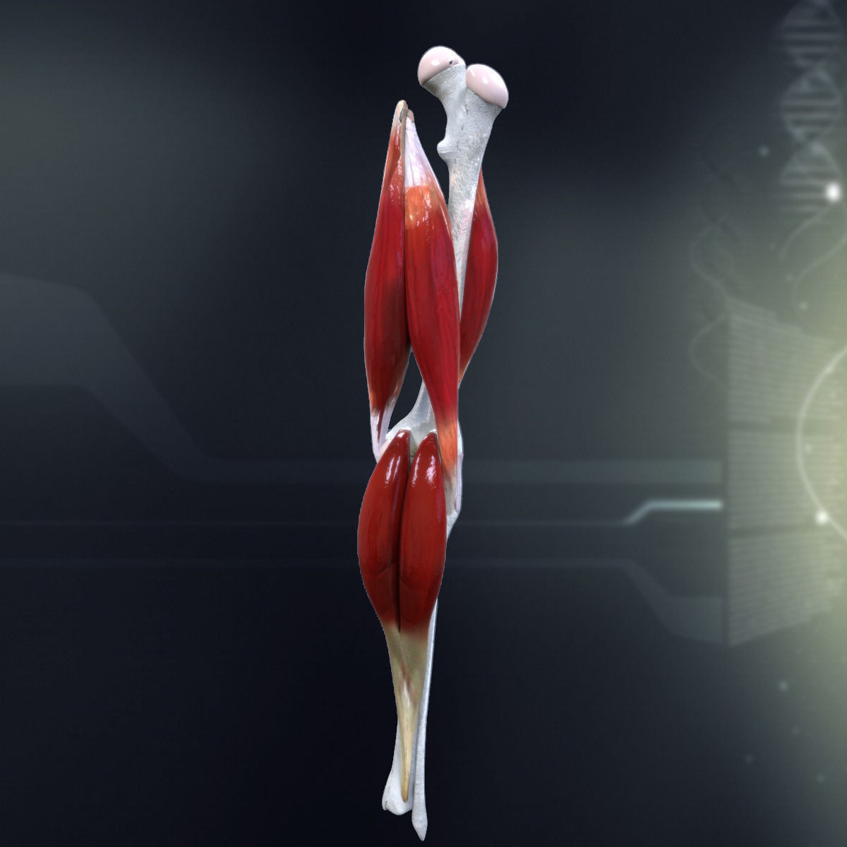 3d model human knee joint anatomy cgtrader human knee joint anatomy 3d model max obj 3ds fbx c4d lwo lw lws 2 ccuart Choice Image
