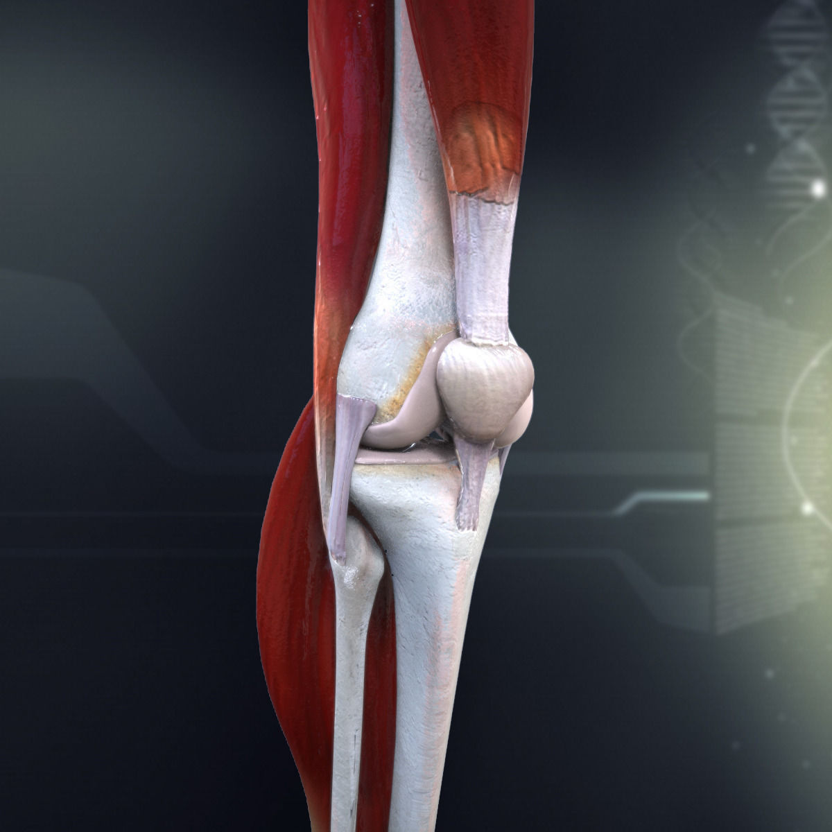 3d Human Knee Joint Anatomy Cgtrader