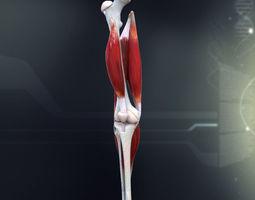 human knee joint anatomy 3d model