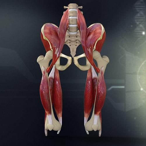 human pelvis muscle bone anatomy 3d model max obj mtl 3ds fbx c4d lwo lw lws 1